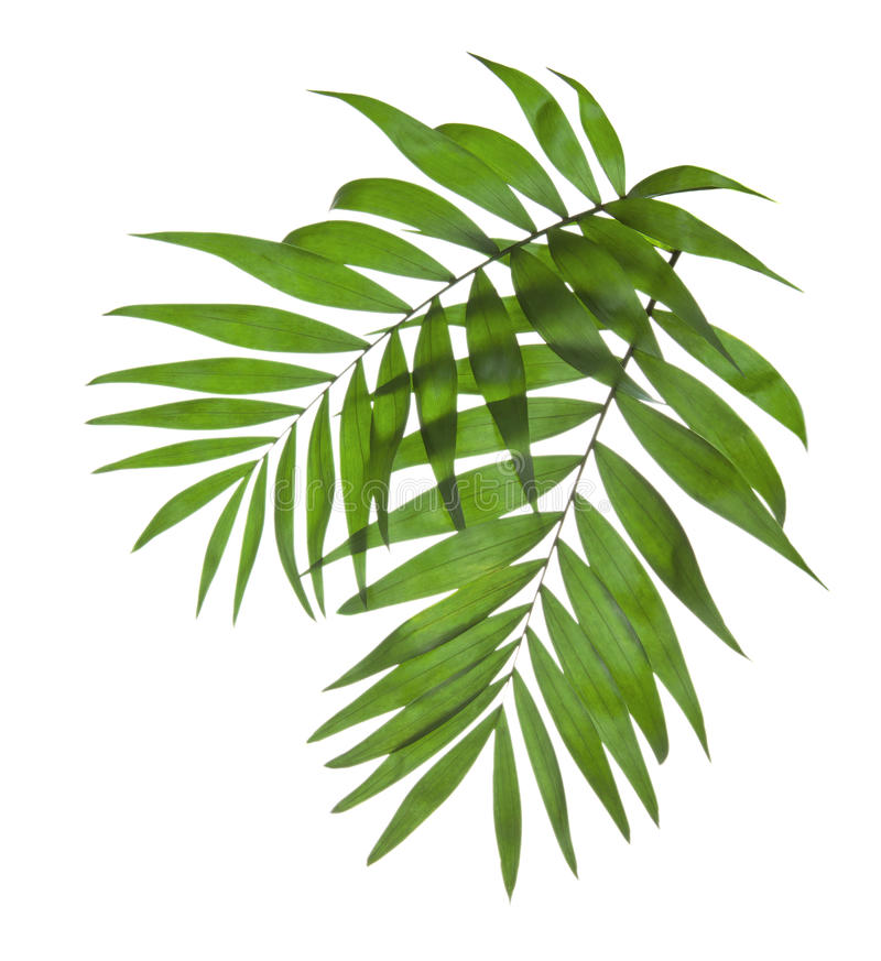 Two leaves of a palm tree royalty free stock photography