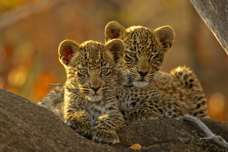 Two Leopard Cubs Stock Image