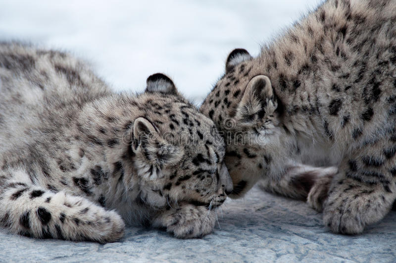 Two leopards caressing