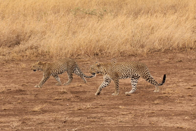 Two leopards walking in the savannah stock photo