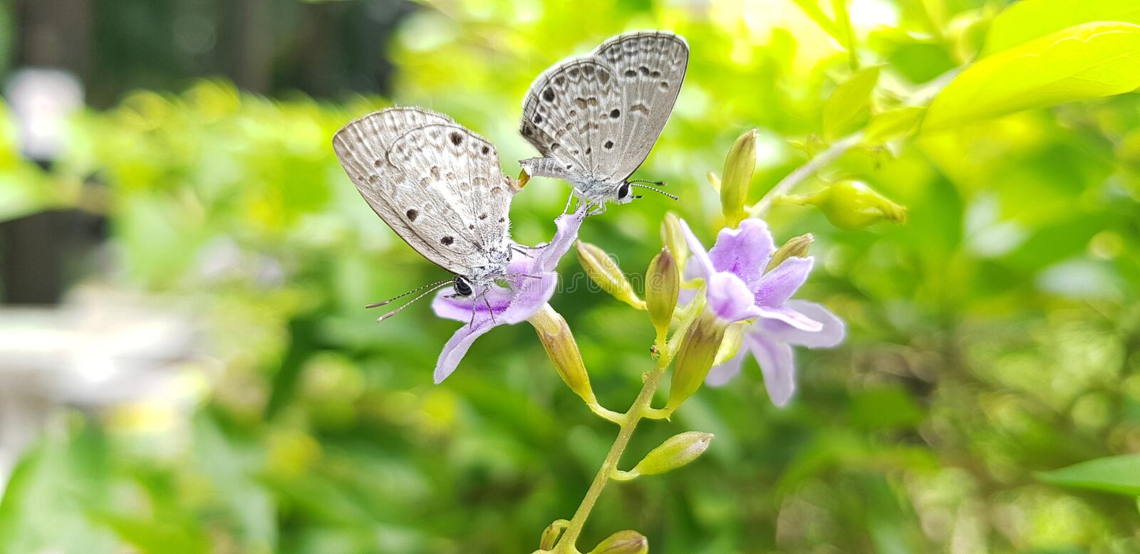 Two lesser grass blue on the leaf,The breeding of gray butterflies royalty free stock image