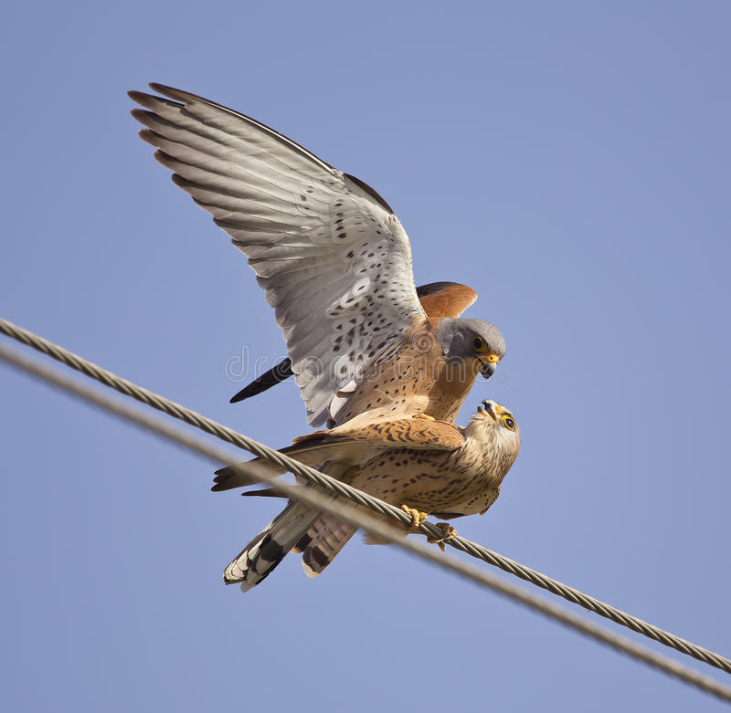 Mating Lesser Kestrels. Two lesser kestrels are mating on electric wire royalty free stock images