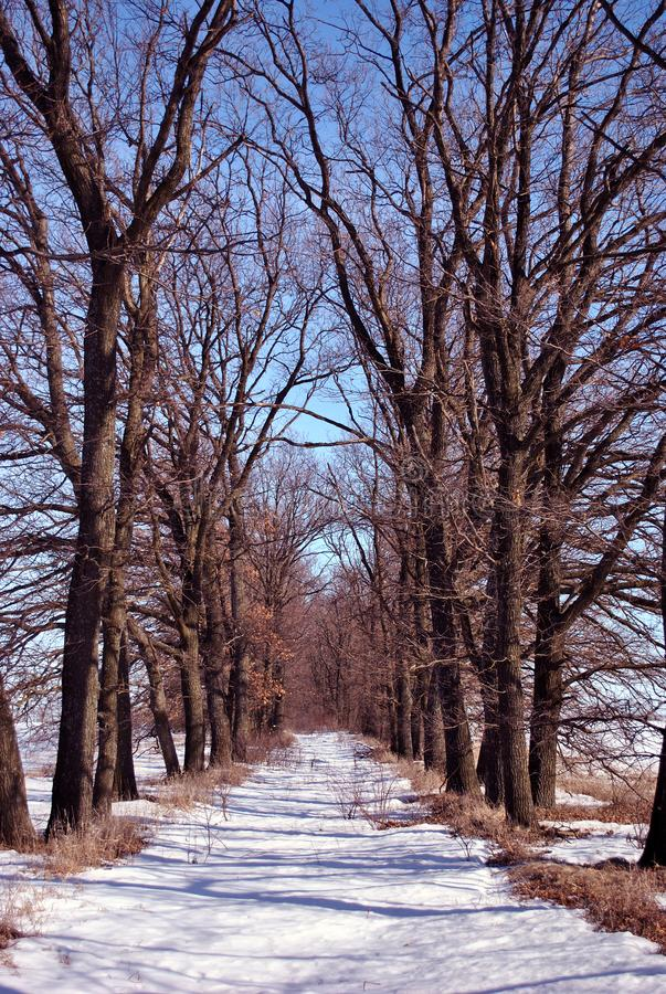 Two lines of oak trees without leaves, road covered with snow, winter landscape, bright sky royalty free stock photo