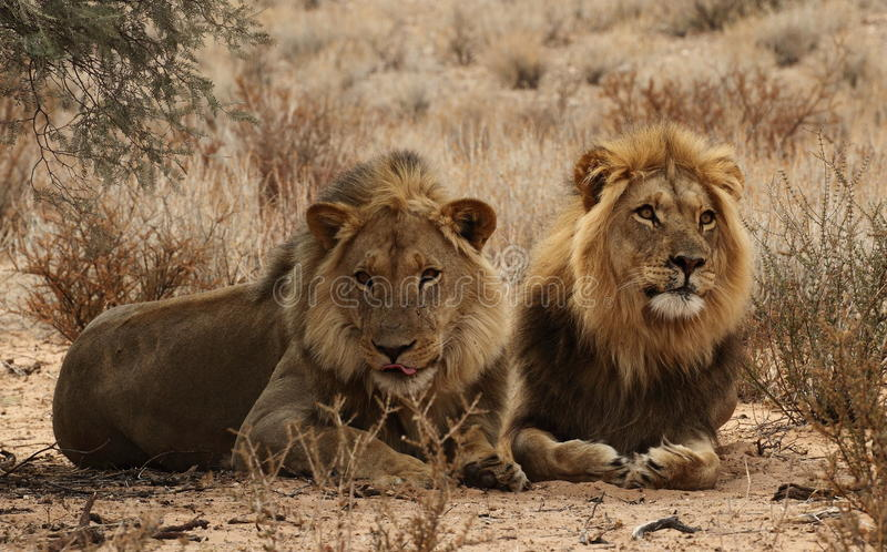 Two lion Brothers in the Kgaligadi 3 royalty free stock photos