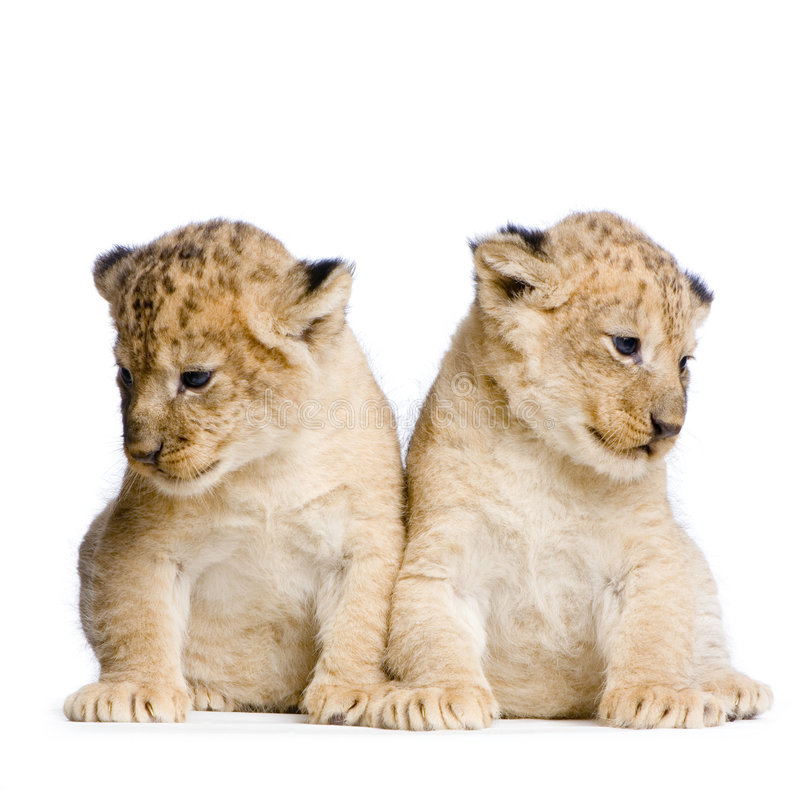Download Two Lion Cubs Stock Photo - Image: 2320660