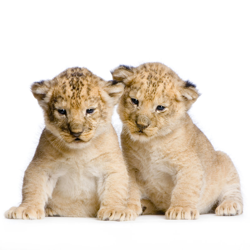 Download Two Lion Cubs stock photo. Image of pair, male, animal - 2320676