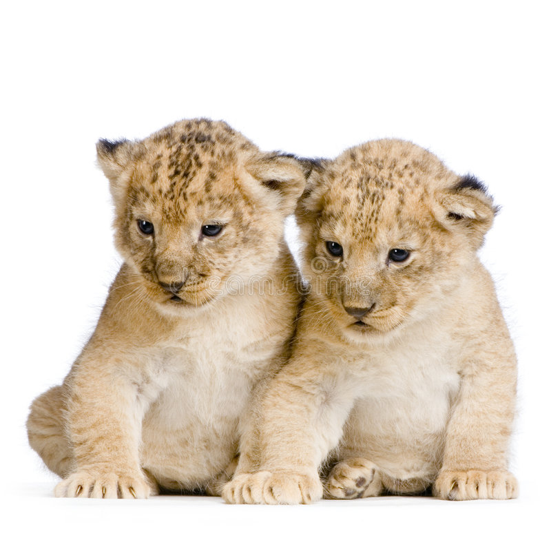 Download Two Lion Cubs Royalty Free Stock Photos - Image: 2320678