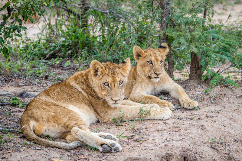 Download Two Lion Cubs Laying In The Sand. Stock Photo - Image of king, danger: 83723308