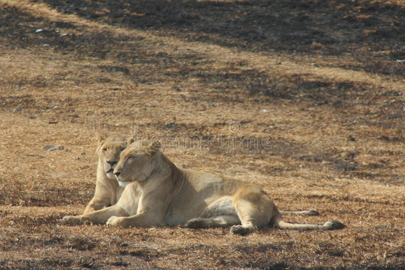 Two Lioness relaxing. Lioness having a moment to themselves stock images