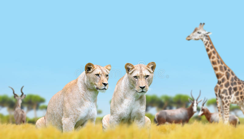 Two lioness on the savannah stock image