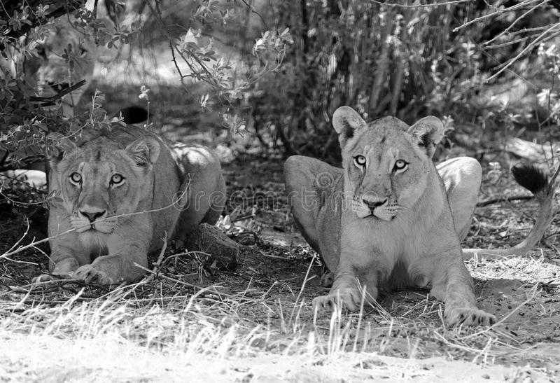 Two Lionesses sit under a bush in black & White. A pair of lions sit beneath a bush to shelter from the sweltering sun in Hwange National Park, Zimbabwe royalty free stock images