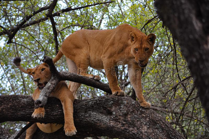 Two lionesses in a tree. stock photography