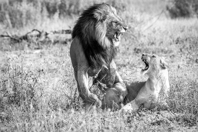 Two Lions busy mating in black and white. A mating couple of Lions in the Chobe National Park, Botswana royalty free stock images