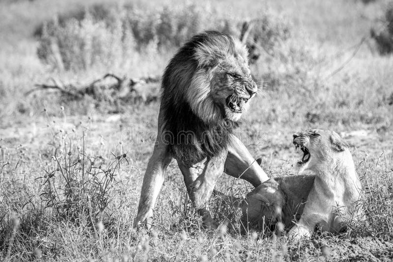 Two Lions busy mating in black and white. A mating couple of Lions in the Chobe National Park, Botswana stock photos