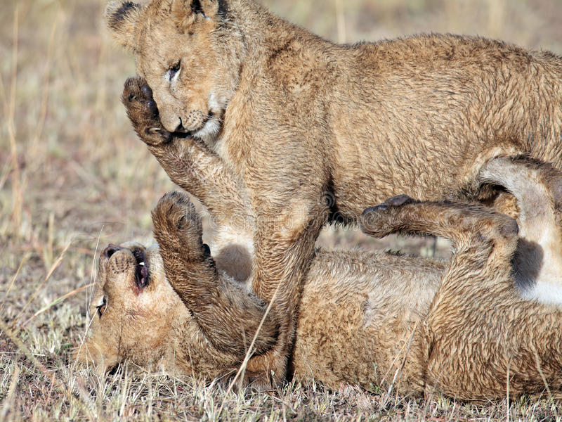Download Two Lions Cubs Played In The Morning Sun Beams Stock Photo - Image: 15611978