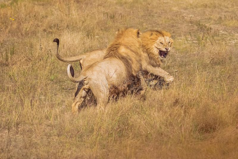 Two lions fighting in the wild. Two adult lions fighting for a female. Lions frolic in the wild, figuring out the relationship stock photos