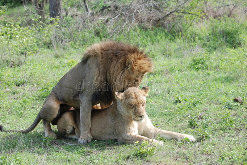 Two lions in love stock image