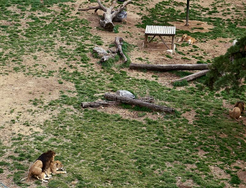 Two lions making love to each other at a zoo while other lions are looking away stock image