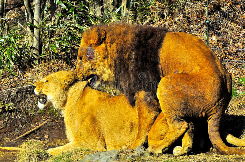 Two lions mating. The law of the jungle is the survival of the strongest and the fittest. The male lion have to fight for his space and his mating partner. This stock images