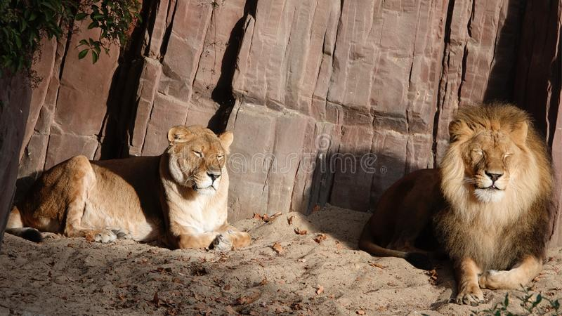 Lions. Two Lions resting in the sun stock photos