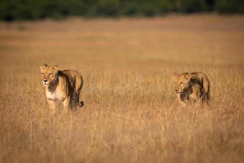 Two lions walking side-by-side through long grass royalty free stock images