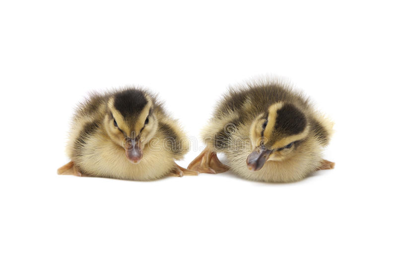 Download Two Little Baby Ducks stock image. Image of farm, beige - 41628687
