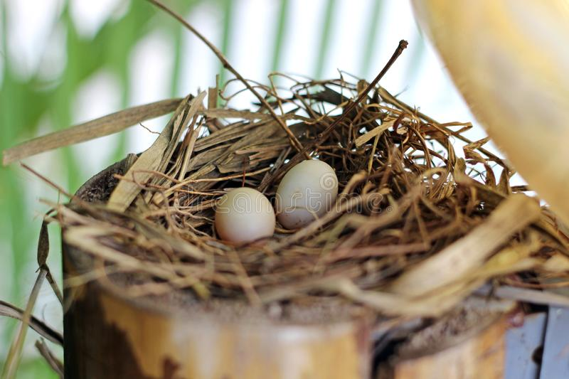 Two bird eggs the nest royalty free stock photo