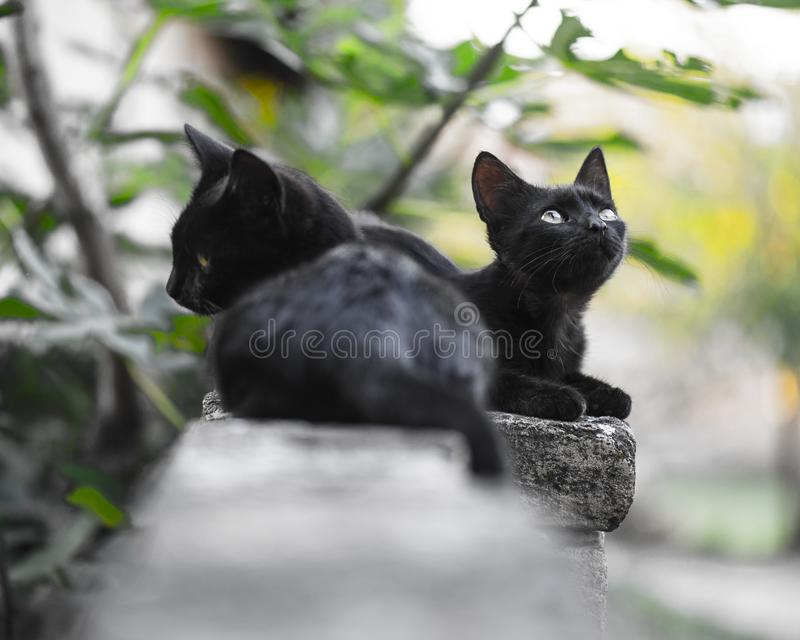 Two little black domestic cats stock image