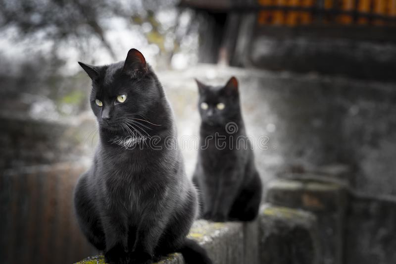 Two little black domestic cats with yellow eyes. Two little black domestic cats stock photos