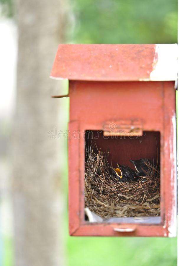 Two little black oriental magpie robin birds lay down on small cozy brown wood nest in old rusty red mailbox hanging on white wall stock photo
