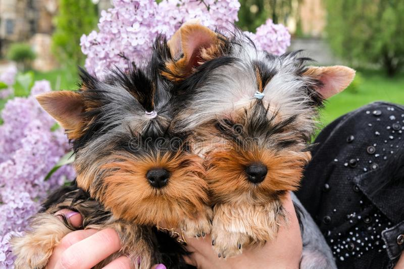 Two little black puppies in female hands stock photography