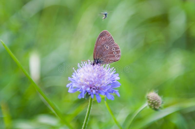 Two little blue butterflies sitting on bright Sunny yellow meadow stock photos