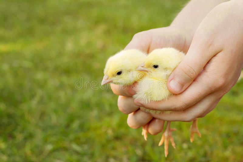 Two little chickens in woman hands. stock image