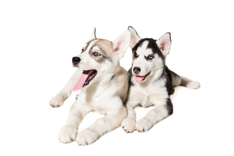 Cool Cute Puppy Blue Eye Adorable Dog - two-little-cute-puppy-siberian-husky-dog-blue-eyes-isolated-beautiful-puppies-89020127  Gallery_3197  .jpg