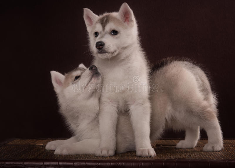 Two Little cute puppy of Siberian husky dog. In studio over brown royalty free stock photos