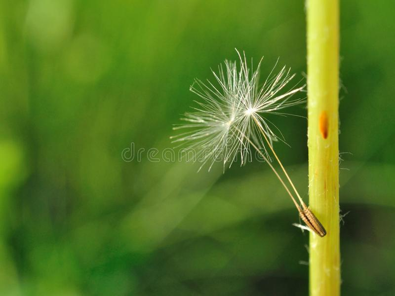 Two little dandelion seeds royalty free stock images