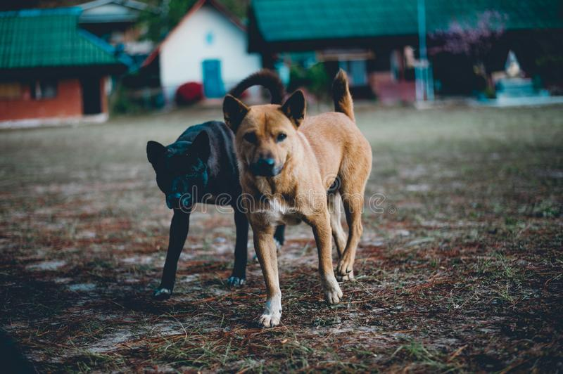 Two little dogs running In the yard happily I do not know what t stock photography