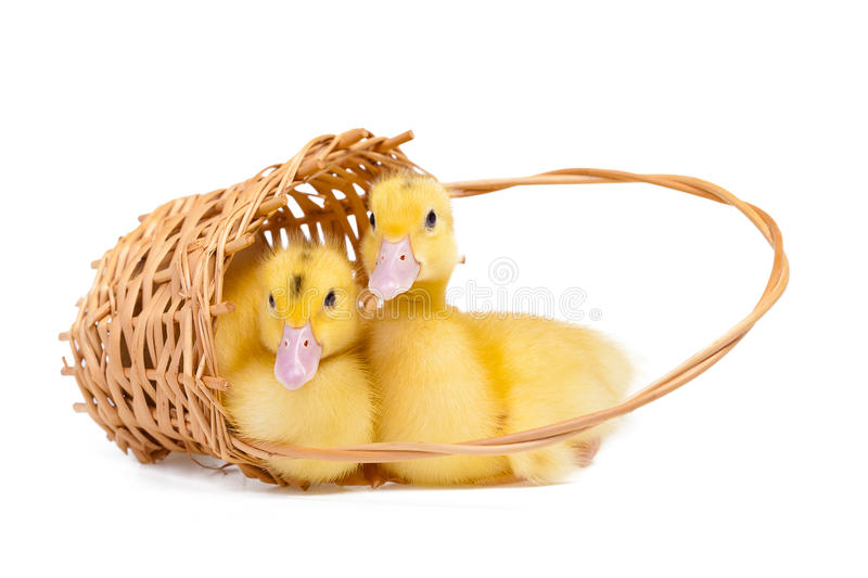 Little duck royalty free stock image