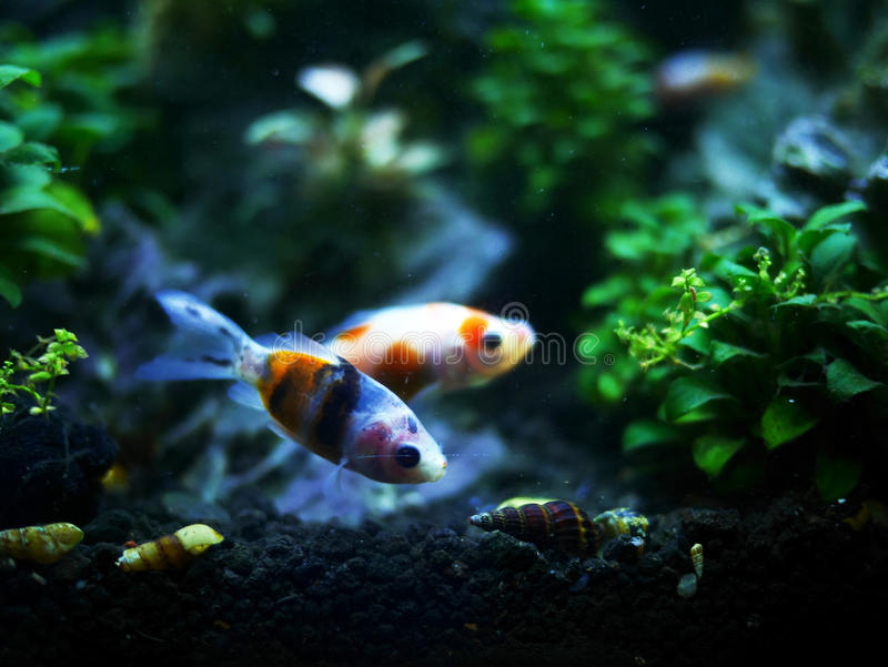 Two little fish and snails. In an aquarium royalty free stock photos