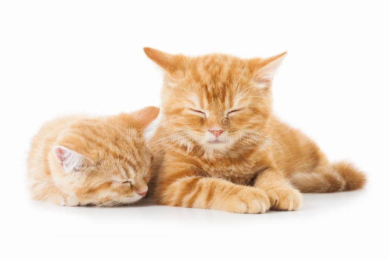 Two little Ginger british shorthair cats over white background royalty free stock photos