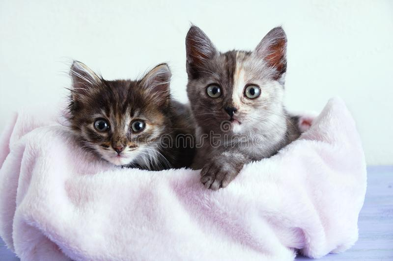 Two little gray kittens lie on pink plaid on a white wall background. Two little gray kittens lie on a pink plaid on a white wall background stock images