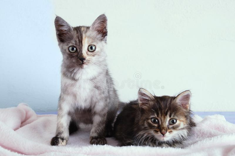 Two little gray kittens sit on a pink plaid on white wall background. Two little gray kittens sit on a pink plaid on a white wall background stock images