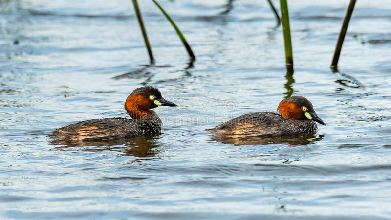 Two Little Grebes happily swimming in a natural pond. Bangkok, Thailand royalty free stock image