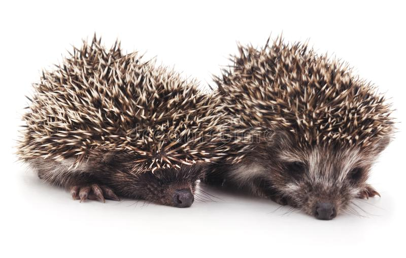Two little hedgehogs. Two little hedgehogs on a white background royalty free stock photos