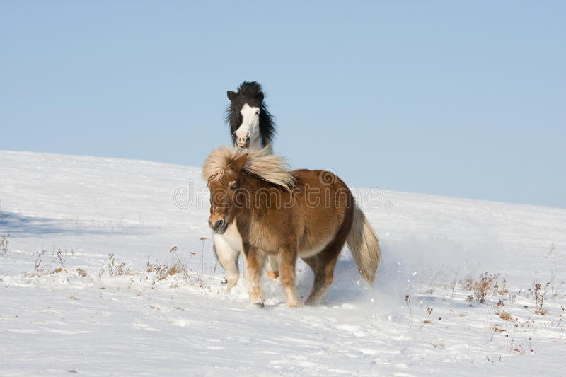 Two little horses playing on snowy meadow royalty free stock images