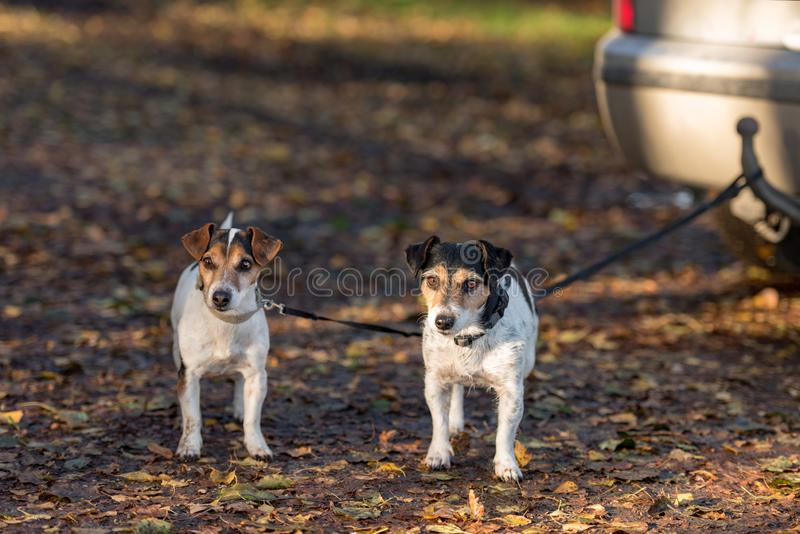 Two little Jack Russell Terrier dogs are tied to a car waiting for their owner royalty free stock photo