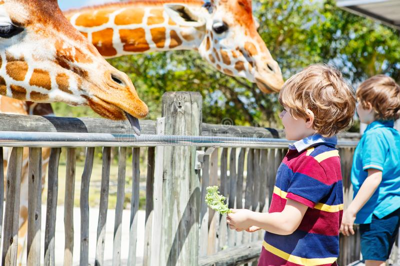 Two little kids boys and father watching and feeding giraffe in zoo. Happy children, family having fun with animals. Safari park on warm summer day stock photography