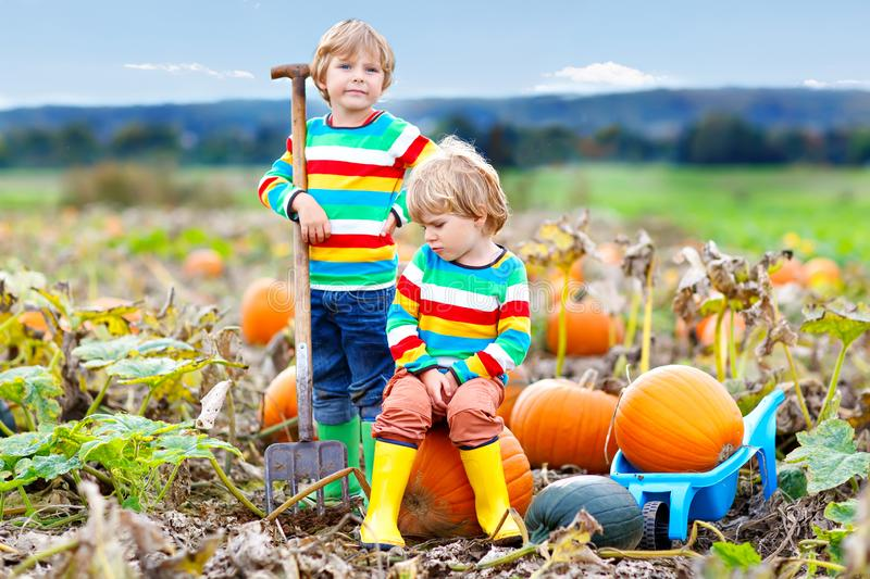 Two little kids boys picking pumpkins on Halloween pumpkin patch. Children playing in field of squash. Kids pick ripe stock image
