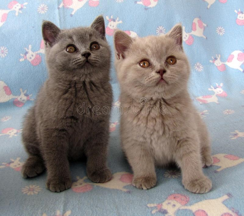 Fuzzy Kittens On Wicker Chair Stock Image Image Of