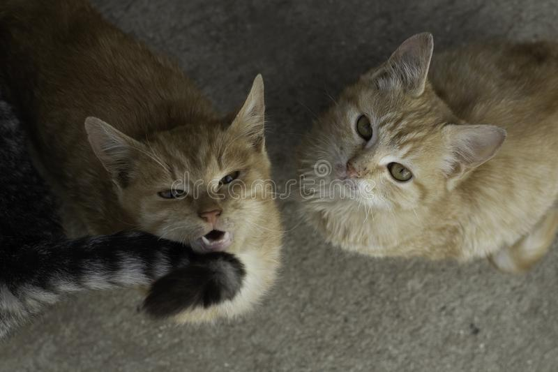 Two little kittens looking upwards one of which is meowing next to the gray tail of the third.  stock photos